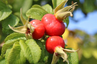 Fruits of the rose hip