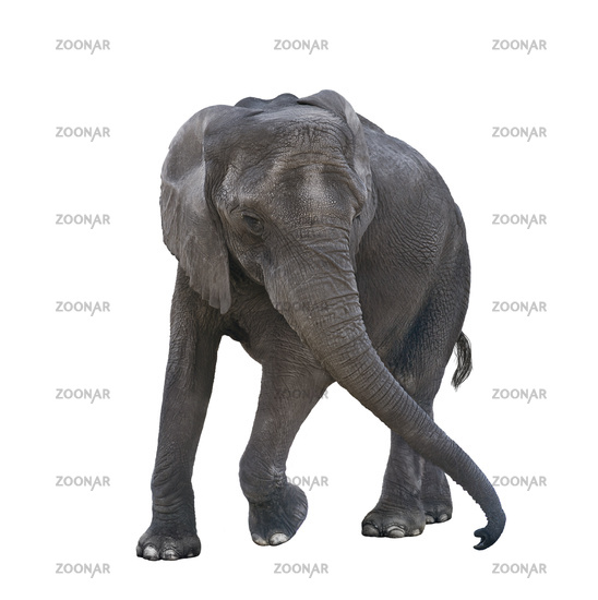 Young elephant playing on white background