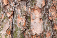 uneven bark on old trunk of pine tree close up