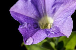 Petunia blossom with water drop macro