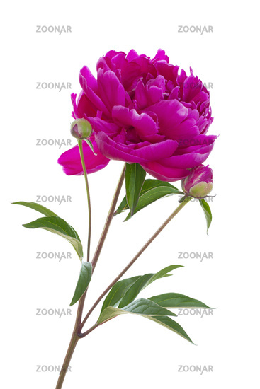 Red peony standing on white background