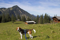 Beagle with Bodenalm and Wallberg