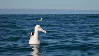 Southern royal albatross, Kaikoura, New Zealand.