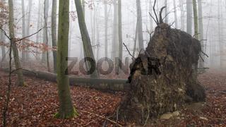 Nationalpark Hainich - Nebelwald