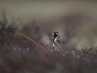Lapland Sparrow