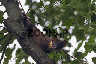 Baummarder auf einem Baum / Martes martes