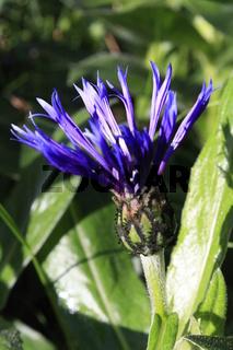 blüte blau flockenblume