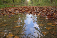 Deister - Forest path with autumn leaves and puddle, Germany