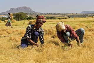 Bauern bei der Ernte von Teff (Eragrostis tef) mit der Sichel,Hawzien, Tigray, Äthiopien