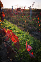 Vineyard in Burgenland in autumn