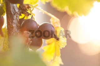 Jostaberry blackcurrant bush branch for backgrounds in german garden. Shallow focus background. Backlit with sunrays flare.