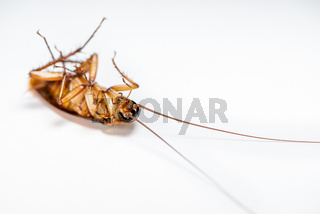 Close up cockroach dead on white background