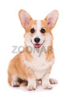 Welsh corgi dog sitting isolated on white background