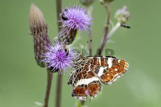 Distelfalter / Schmetterling sitzt auf diner blauen Distelblüte vor unscharfem grünen Hintergrund