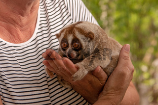 Slow loris sits in hands of woman