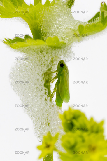Larva of a green hay horse in its foam cocoon shortly after hatching
