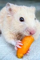 White hamster gnaws carrots.