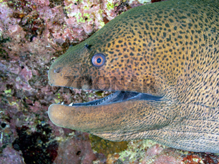Riesenmuraene (Gymnothorax javanicus)