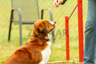 A young australian shepherd getting a reward from the owners hand in the dog school.