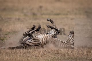 Plains zebra on savannah rolling in dust