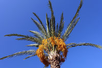 Treetop of a date palm with bright yellow fruits
