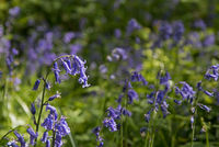 Native English Bluebells in Sussex woodland during Springtime.