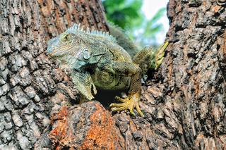 Leguan auf dem Baum