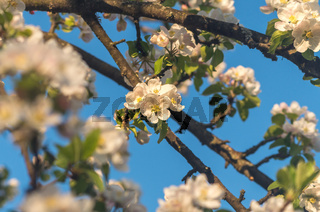 Spring blossoms of blooming apple tree in springtime.