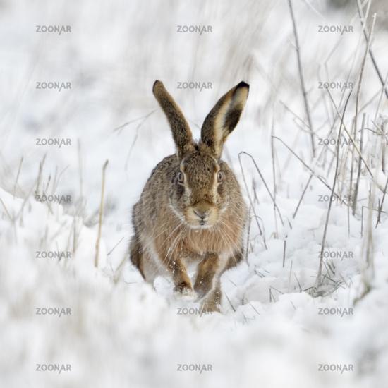 Brown Hare / European Hare * Lepus europaeus * in winter, running through snow, frontal shot
