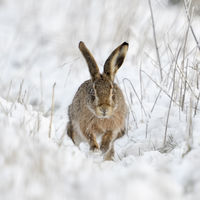 Brown Hare / European Hare * Lepus europaeus * in winter, running through snow, frontal shot