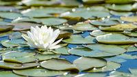 White lotus flower and lush foliage in natural lake