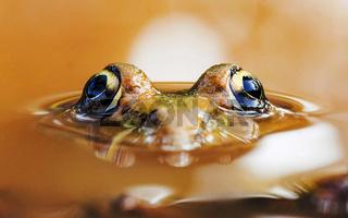 Skittering frog, Euphlyctis cyanophlyctis or Indian skipper frog, Mogral puttr, Kasargoad, Kerala, India