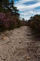 Sand path through heather