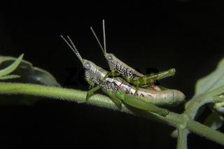 Grasshopper mating, Neyyar wildlife sanctuary, Kerala, India