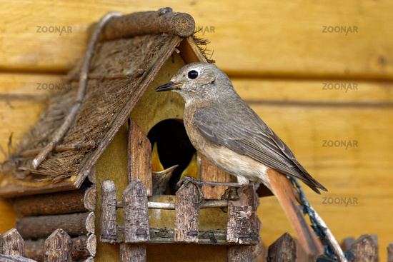 Redstart at the nest