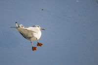 Small gull standing on a glass roof