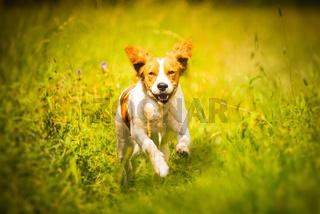 Breton spaniel female puppy running towards camera