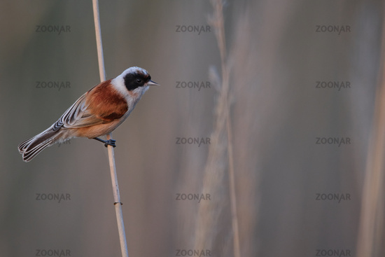 penduline tit from Hungary