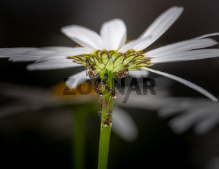 Ants feeding on honeydew from aphids on a daisy