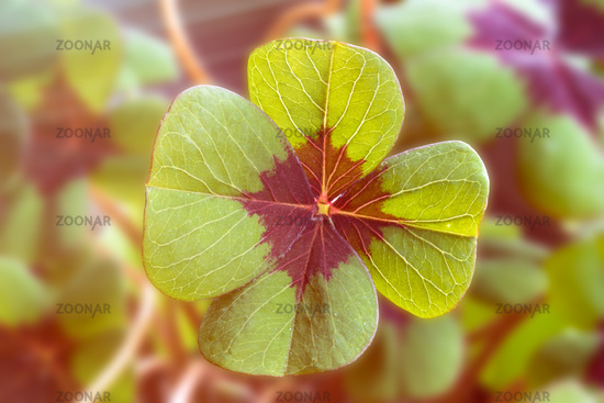 Image of lucky clover with sunlight