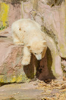 Young polar bear (Ursus maritimus)