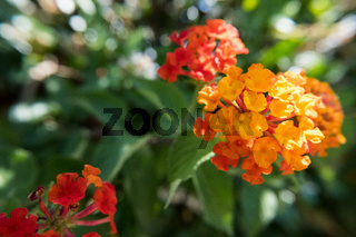 Weeping Lantana flower.
