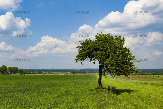 Lonely tree on the field