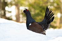 Western capercaillie and its mating display during winter
