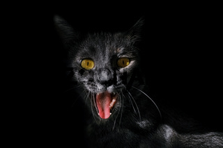 Portrait of an angry cat