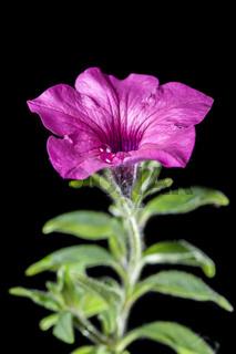Petunia stem on black near middle