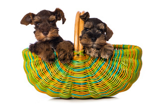 Two puppies in a basket