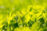 Green spring leaves in close up. Spring background with green leaves of grass.