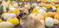 French Bulldog posing in front of Pumpkin Patch.