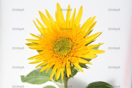 Sonnenblume, Helianthus, annuus